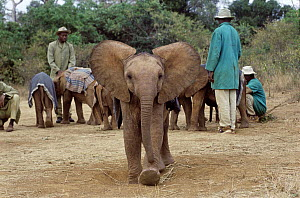 African Elephant (Loxodonta africana) orphan, Maluti, six months old, charging camera, David Sheldrick Wildlife Trust, Tsavo East National Park, Kenya  -  Gerry Ellis