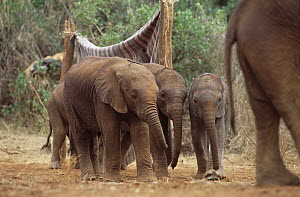 African Elephant (Loxodonta africana) orphans heading out to mud bath, David Sheldrick Wildlife Trust, Tsavo East National Park, Kenya  -  Gerry Ellis