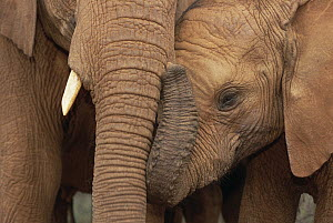 African Elephant (Loxodonta africana) orphans, Malalka with Natumi, David Sheldrick Wildlife Trust, Tsavo East National Park, Kenya  -  Gerry Ellis
