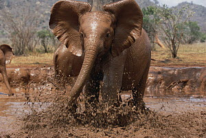 African Elephant (Loxodonta africana) orphan called Natumi, charging and playing in mud bath, David Sheldrick Wildlife Trust, Tsavo East National Park, Kenya  -  Gerry Ellis