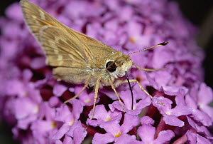Silver-spotted Skipper (Hesperia comma) feeding, with proboscis, on flower nectar, western North America - Gerry Ellis