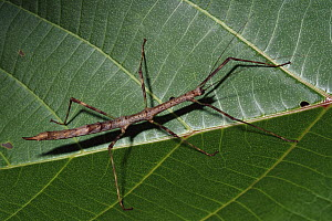 Stick Insect on leaf, Papua New Guinea  -  Gerry Ellis