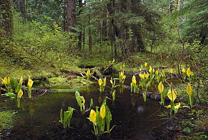 Western Skunk Cabbage (Lysichiton americanum) in old growth temperate rainforest, Misty Fjords National Monument, Alaska - Gerry Ellis