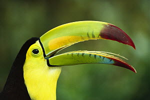 Keel-billed Toucan (Ramphastos sulfuratus) portrait showing barbed tongue, native to Mexico and Central America  -  Gerry Ellis