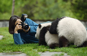 Giant Panda (Ailuropoda melanoleuca) being photographed at the China Conservation and Research Center for the Giant Panda, Wolong Nature Reserve, China  -  Gerry Ellis