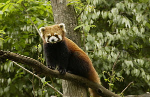 Lesser Panda (Ailurus fulgens) in a tree at the China Conservation and Research Center for the Giant Panda, Wolong Nature Reserve, China  -  Katherine Feng