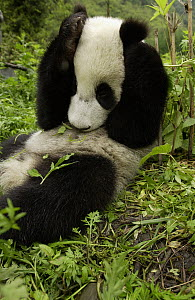 Giant Panda (Ailuropoda melanoleuca) young Panda laying in grass with paws over its head, at the China Conservation and Research Center for the Giant Panda, Wolong Nature Reserve, China  -  Gerry Ellis