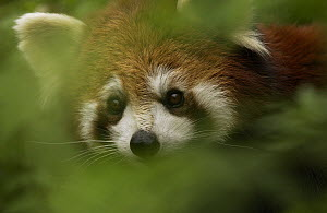 Lesser Panda (Ailurus fulgens) peering through foliage at the China Conservation and Research Center for the Giant Panda, Wolong Nature Reserve, China  -  Katherine Feng