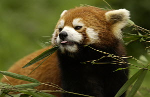 Lesser Panda (Ailurus fulgens) portrait at the China Conservation and Research Center for the Giant Panda, Wolong Nature Reserve, China  -  Katherine Feng