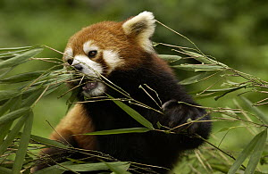 Lesser Panda (Ailurus fulgens) portrait among bamboo leaves at the China Conservation and Research Center for the Giant Panda, Wolong Nature Reserve, China  -  Katherine Feng
