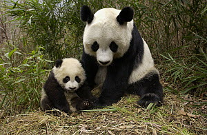 Giant Panda (Ailuropoda melanoleuca) adult and baby in bamboo forest at the China Conservation and Research Center for the Giant Panda, Wolong Nature Reserve, China - Katherine Feng