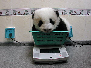 Giant Panda (Ailuropoda melanoleuca) baby being weighed on a scale at the China Conservation and Research Center for the Giant Panda, Wolong Nature Reserve, China - Katherine Feng