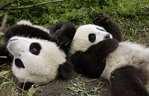 Giant Panda (Ailuropoda melanoleuca) pair of young Pandas playing at the China Conservation and Research Center for the Giant Panda, Wolong Nature Reserve, China - Katherine Feng