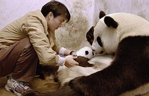 Giant Panda (Ailuropoda melanoleuca) researcher Wu Dai Fu teaching one of Gongzhu's 2003 cubs to nurse, fur around nipples has been clipped to aid nursing China Conservation and Research Center for th... - Katherine Feng