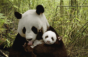 Giant Panda (Ailuropoda melanoleuca) Gongzhu and cub in bamboo forest, Wolong Nature Reserve, China, digital composite  -  Katherine Feng