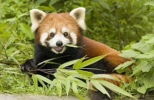 Lesser Panda (Ailurus fulgens) eating bamboo, endangered, Wolong Nature Reserve, China - Katherine Feng