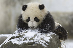 Giant Panda (Ailuropoda melanoleuca) cub playing in the snow, Wolong Nature Reserve, China - Katherine Feng