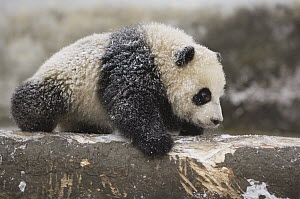 Giant Panda (Ailuropoda melanoleuca) five month old cub playing in the snow, Wolong Nature Reserve, China - Katherine Feng