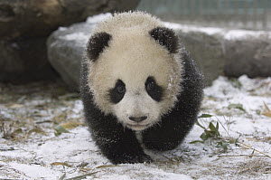 Giant Panda (Ailuropoda melanoleuca) cub approaching through the snow, Wolong Nature Reserve, China - Katherine Feng