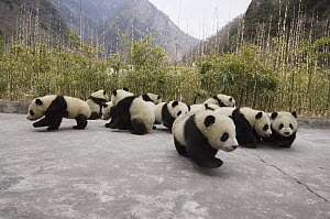 Giant Panda (Ailuropoda melanoleuca) cubs arranged to photograph all 16 cubs together, Wolong Nature Reserve, China, sequence 3 of 3 - Katherine Feng