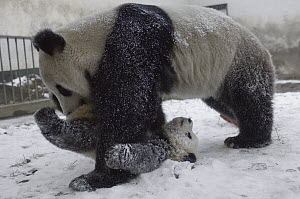 Giant Panda (Ailuropoda melanoleuca) american-born Hua Mei playing with her first, five month old cub in snow, Wolong Nature Reserve, China - Katherine Feng
