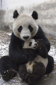 Giant Panda (Ailuropoda melanoleuca) mother and cub in the snow, Wolong Nature Reserve, China - Katherine Feng