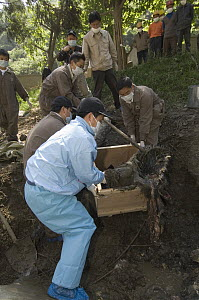 Giant Panda (Ailuropoda melanoleuca) recovery effort, workers collect Mao Mao's body for burial after the May 12, 2008 earthquake and landslides, CCRCGP, Wolong, China  -  Katherine Feng