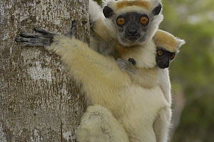 Golden-crowned Sifaka (Propithecus tattersalli) mother with young clinging to back, critically endangered, Daraina, northeast Madagascar  -  Pete Oxford