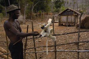 Golden-crowned Sifaka (Propithecus tattersalli), a critically endangered species, being fed by Malagasy man, Daraina, northeast Madagascar  -  Pete Oxford