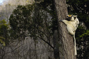 Golden-crowned Sifaka (Propithecus tattersalli) mother with baby clinging to its back, critically endangered, Daraina, northeast Madagascar  -  Pete Oxford