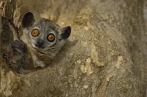 White-footed Sportive Lemur (Lepilemur leucopus) peeking out of nest hole, Berenty Private Reserve, Madagascar - Pete Oxford