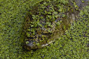 Softshell Turtle (Trionychidae) covered with pond weed, Bharatpur National Park, Rajasthan, India  -  Pete Oxford