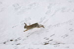 Eastern Cottontail Rabbit (Sylvilagus floridanus) running over snow, Wyoming  -  Pete Oxford