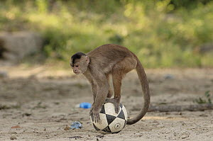 White-fronted Capuchin (Cebus albifrons) playing with soccer ball, Puerto Misahualli, Amazon Rainforest, Ecuador - Pete Oxford