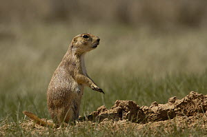 Black-tailed Prairie Dog (Cynomys ludovicianus) looking for danger, Devil's Tower National Monument, Wyoming - Pete Oxford