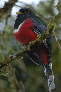 Masked Trogon (Trogon personatus) male, western slope of the Andes Mountains, Ecuador  -  Pete Oxford
