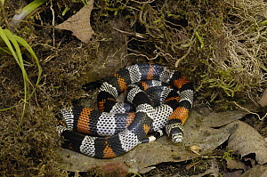 Milk Snake (Lampropeltis triangulum), mimics venomous coral snakes, Andes Mountains, Ecuador  -  Pete Oxford