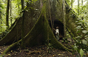 Buttress root in rainforest with photographer Pete Oxford standing beneath it, Sacha Lodge, Amazon Rain Forest, Ecuador - Pete Oxford