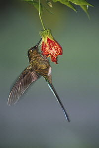Violet-tailed Sylph (Aglaiocercus coelestis) hummingbird female feeding at flowers, west slope of the Andes Mountains, Ecuador  -  Pete Oxford