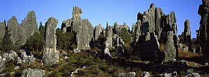 Stone forest of eroded limestone pinnacles, Yunnan Province, China  -  Pete Oxford