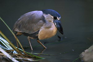 Boat-billed Heron (Cochlearius cochlearius) wading, Central and South America  -  Pete Oxford