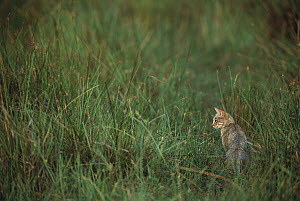 African Wild Cat (Felis lybica) sitting in grass, Okavango Delta, Botswana  -  Pete Oxford