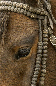 Domestic Horse (Equus caballus) wearing a knotted bull-hide bridle at Hacienda Yanahurco, Andes Mountains, Ecuador  -  Pete Oxford