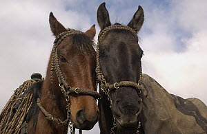 Domestic Horse (Equus caballus) pair belonging to Chagra cowboys at the Hacienda Yanahurco in the Andes Mountains, Ecuador  -  Pete Oxford