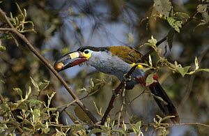 Plate-billed Mountain Toucan (Andigena laminirostris) perching in a tree with fruit in its large beak, Andes Mountains, Ecuador  -  Pete Oxford