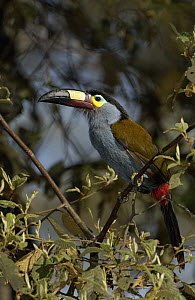 Plate-billed Mountain Toucan (Andigena laminirostris) perching in tree, Andes Mountains, Ecuador  -  Pete Oxford