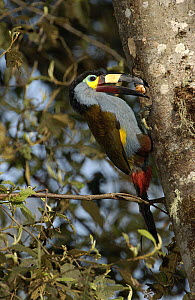 Plate-billed Mountain Toucan (Andigena laminirostris) parent bringing food to young in nest cavity, Andes Mountains, Ecuador  -  Pete Oxford