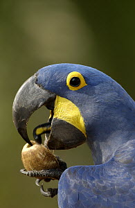 Hyacinth Macaw (Anodorhynchus hyacinthinus) cracking open a Piassava Palm (Attalea funifera) nut to drink the milk, Brazil - Pete Oxford