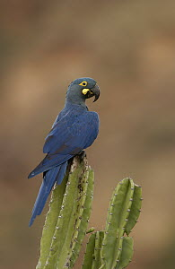 Lear's Macaw (Anodorhynchus leari) perching atop a cactus, less than 500 survive in the wild, Brazil  -  Pete Oxford