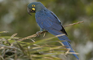 Lear's Macaw (Anodorhynchus leari) perching in tree, less than 500 survive in the wild, Brazil  -  Pete Oxford